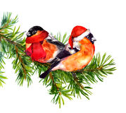 Two bullfinch birds in winter red santa hat and scarf on tree. Two bullfinch birds in winter clothes - hat and scarf, on pine or spruce tree branch. Watercolor Stock Photography