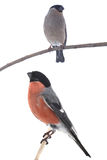 Two bullfinch Stock Images