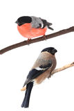 Two bullfinch Royalty Free Stock Images