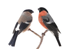 Two bullfinch Royalty Free Stock Photo