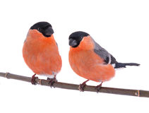 Two bullfinch Royalty Free Stock Photography