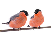 Two bullfinch Stock Photos