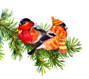 Two bullfinch in winter clothes, hat and scarf, on fir tree Royalty Free Stock Image