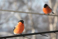 Two bullfinches. Stock Photography