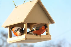 Two bullfinches in feed. Winter day Stock Photo