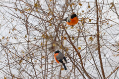 Two bullfinches sit on tree branch Stock Photos