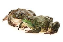 Two Bullfrog. Bullfrog, Rana catesbeiana, against white background, studio shot royalty free stock images