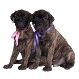 Two bullmastiff puppies. Two sweet bullmastiff puppies isolated royalty free stock image