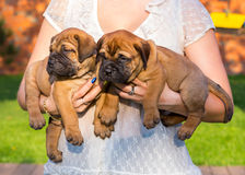 Two bullmastiff puppy on hands. Two little bullmastiff puppy on hands of the woman stock photography