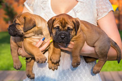 Two bullmastiff puppy on hands Royalty Free Stock Images