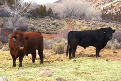 Two Bulls Stock Photo