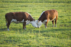 Two bulls butting. Two bulls are butting in the spring Stock Photos