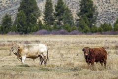 Two bulls in the field. Royalty Free Stock Photography