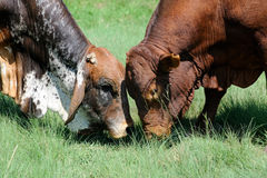 Two bulls fighting Royalty Free Stock Photos