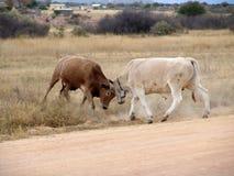 Two bulls fighting stock photo