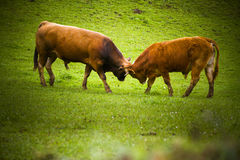 Two bulls fighting. In a meadow Stock Image
