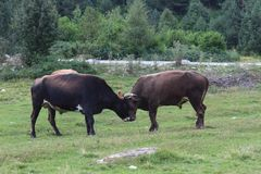 Two bulls fighting in the nature Royalty Free Stock Photos