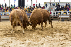 Two bulls is fighting -sport. Bullfighter sport at South Korea Stock Photos