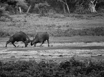 Two bulls locking hrons. Two Buffalo locking horns in fight of dominance at Yala, Sri Lanka. Black and white stock photography