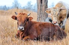 Two bulls in a pasture. Stock Images