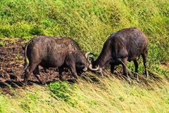 Two bulls sort things out. Safari in national parks of South Africa. A series of portraits of animals in their natural habitat in the South African reserve stock photos