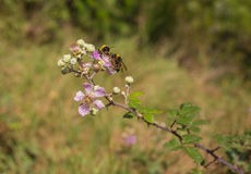 Two Bumble Bees on a Blackberry flower Royalty Free Stock Photos