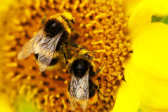 Two bumble bees on sunflower Stock Image