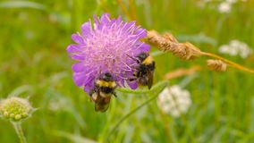 Two bumblebee. On the flower stock video footage