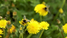 Two bumblebee pollinate a dandelions stock video