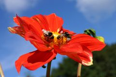 Two bumblebees and a bee in a large red dahlia bloom Stock Photo