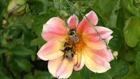 Two bumblebees on a flower of a dahlia. Bumblebees on a flower of a dahlia stock video footage