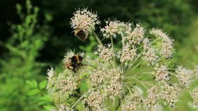Two Bumblebees. On a plant on the edge of the forest stock footage