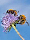 Two bumblebees pollinating wild scabious flower. Stock Image