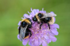 Two bumblebees sitting on the same pink flower full of pollen. Pair of black and yellow bumblebees sitting on the same pink flower head full of pollen, in stock image