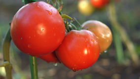 Growing tomatoes. Close-up. Focus in / Focus out. Two bunch with tomatoes on a close-up stock video