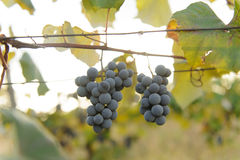 Two Bunches of Grape Royalty Free Stock Images