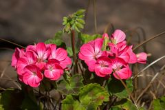 Two Bunches of Pink Geraniums. Two groups of pink Geranium flowers with brown background Stock Images