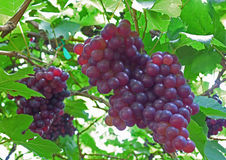 Two bunches of purple color ripe grapes on its tree Stock Photos
