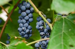 Two bunches of ripe black grapes stock photography