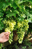 Two bunches of white grape and a hand Stock Image