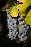 Two Bunches of Wine Grapes Hanging Royalty Free Stock Image