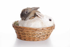 Two bunnies in brown basket. Two bunnies in a brown basket royalty free stock image