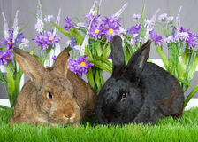 Two bunnies in the garden. Pair of bunnies, one brown one black laying in green grass in front of a white picket fence with purple flowers by a gray wall royalty free stock photo