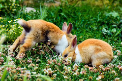 Two bunnies in grass Stock Image