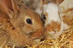 Two bunnies on the hay Stock Photos