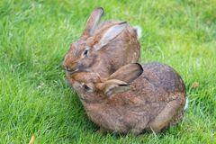 Two bunnies sitting on the grass Stock Image