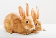 Two bunnies on white background Stock Photography