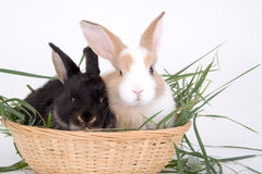 Two bunny in basket royalty free stock photography