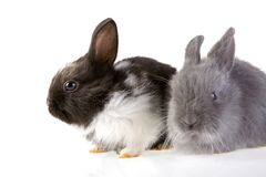 Two bunny, focus on the black royalty free stock photos