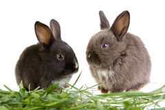 Two bunny in the grass Stock Images